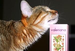 Валерьянка - лекарственное средство на основе природного сырья