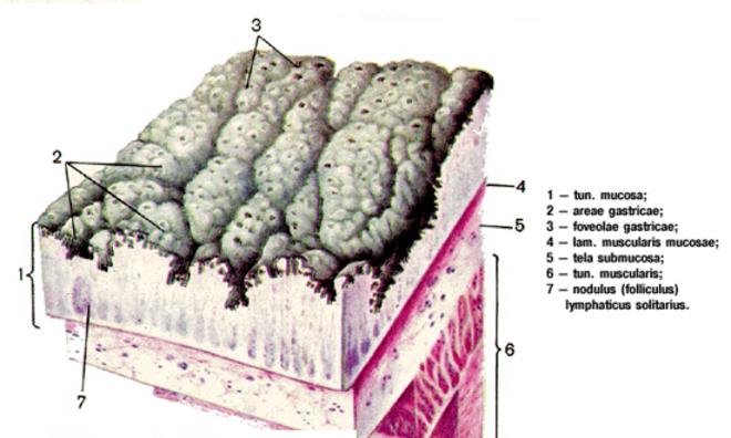 Эпителий слизистой желудка