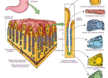 Железы желудка
