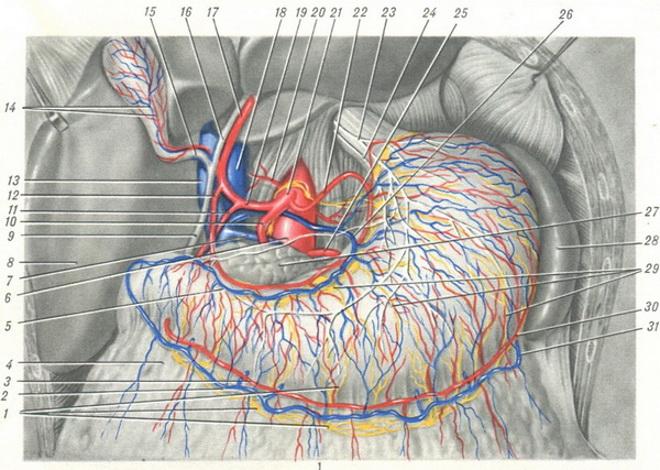 Лимфатические и кровеносные сосуды желудка (вид спереди): 1 и 29 — лимфатические сосуды и узлы; 2 и 31 — v. gastro - epiplolca dext. et sin.; 3 и 30 — a. gastro - epiplolca dext. et sin.; 4 — omentum majus; 5 и 26 — v. gastrica dext. et sin.; 6 — aorta abdominalis; 7 — v. lienalis; S — lobus dext. hepatis; 9 — ductus choledochus; 10 и 25 — a. lienalis; 11 — a. gastro - duodenalis; 12 — a. gastrica dext.; 13 — v. portae; 14 — vasa cystica; 15 — ductus cysticus; 16 — ductus hepaticus; 17 — a. hepatica propria; 18 — v. cava inf.; 19 — a. hepatica communis; 20 — a. phrenica; 21 — truncus coellacus; 22 — a. gastrica sin.; 23 и 24 — n. vagus dext. et sin.; 27 — pancreas; 28 — lien.