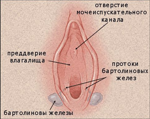 Бартолиновая железа