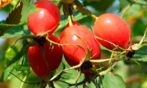 Плоды шиповника не только пополняют запасы ослабленного организма больного необходимыми витаминами и микроэлементами, но и ведут активную борьбу с инфекцией в мочеполовой системе