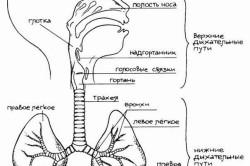 Строение дыхательных путей ребенка