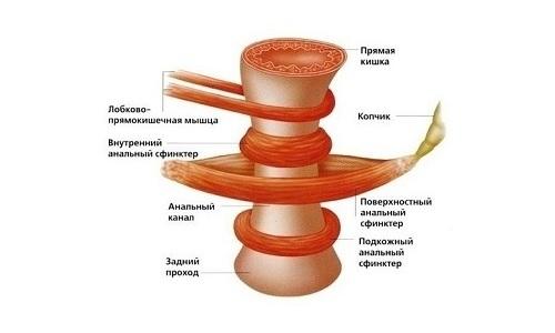 После 40 лет мышцы не в состоянии удерживать геморроидальные узелки в заднем проходе. Они часто ущемляться анальным сфинктером