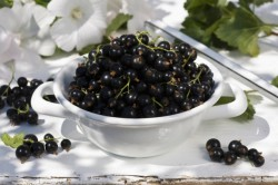 Черная смородина для лечения стафилококка