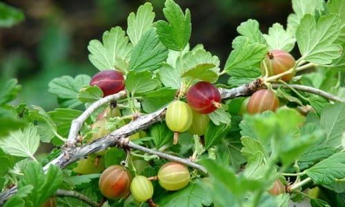 При сахарном диабете допустимо подготавливать фруктовые салаты с содержанием в них крыжовника