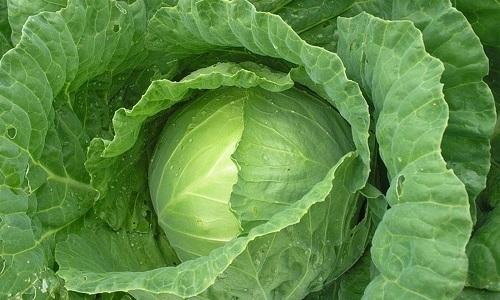 Исключить из рациона при геморрое нужно капусту, которая вызывает процессы брожение в пищеварительном тракте