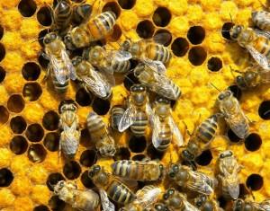 Пчелы в лечении простатита